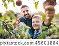 Small boy with father and grandfather picking apples in orchard in autumn. 45601884