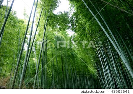 일본 교토 녹색 대나무 덤불 죽림 Japan Kyoto green bamboo forest 45603641