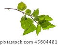 Branches and fruits of physalis on white background 45604481
