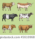 Farm cattle bulls and cows. natural milk and meat. Different breeds of domestic animals. Engraved 45610968