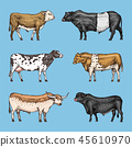 cow,cattle,animal 45610970