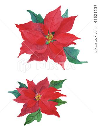 Euphorbia pulcherrima 포인세티아 45621557
