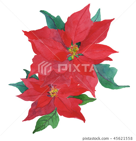 Euphorbia pulcherrima poinsettia 45621558