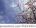紅李子樹 45624041