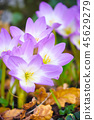 Nice dewy flowers (Colchicum autumnale) 45629279