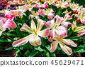 Group pink tulips against the sky. Spring landscape. 45629471