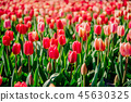 Beautiful red tulips in the Netherlands on sunny spring days. 45630325
