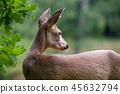 Roe deer in forest, Capreolus capreolus.  45632794