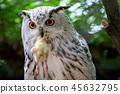 Siberian Eagle Owl with prey in the beak.  45632795