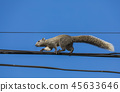 squirrel walking on a wire. 45633646