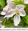 Cherry blossoms 45634673