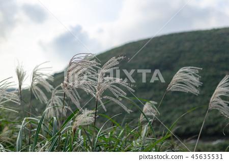 秋白的秋天浪漫。台灣台北市陽明山國家公園 45635531