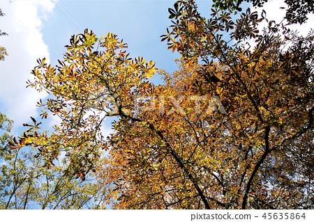 Reims Lance ใบไม้สีเหลืองฤดูใบไม้ร่วง 45635864