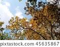 Reims Lance ใบไม้สีเหลืองฤดูใบไม้ร่วง 45635867