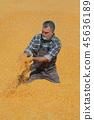 丰收 收获 玉米 45636189