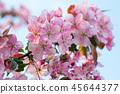 Spring sakura blossom flower twig 45644377