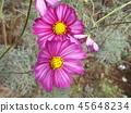 코스모스, 분홍색, 핑크색 45648234
