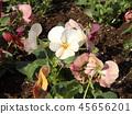 三色堇白色的花朵继续盛开,直到新的一年 45656201