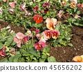 팬지, 꽃, 플라워 45656202
