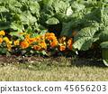 팬지, 꽃, 플라워 45656203