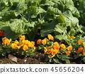 팬지, 꽃, 플라워 45656204
