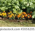 팬지, 꽃, 플라워 45656205