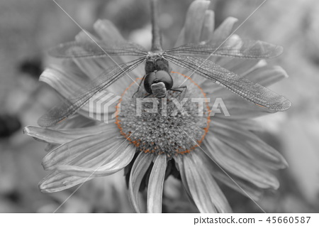 Dragonfly on a flower in black and white picture 45660587