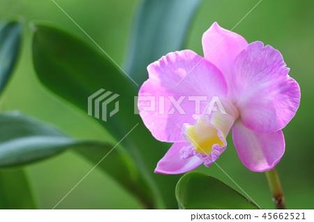 카틀레야 크리스마스 로즈 핑크 꽃 45662521