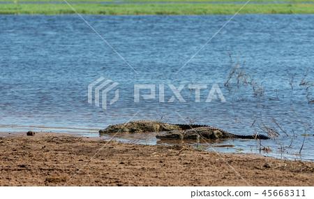 Nile Crocodile in Chobe river, Botswana 45668311