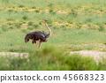 Ostrich, in Kalahari,South Africa wildlife safari 45668323