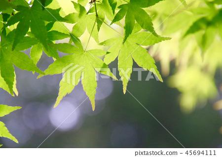 楓葉和初陽光芒在初夏 45694111