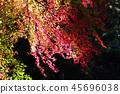 噶玛雅原始森林 奈良县 枫树 45696038