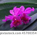 Bright cattleya orchid flower on Leaf blossom 45700354