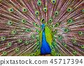 A Peacock Displaying Its Feathers 45717394