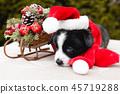 funny corgi puppy dog in santa hat 45719288