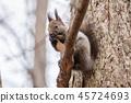 hokkaido, squirrel, japanese 45724693