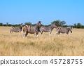 斑马在埃托沙国家公园 45728755