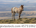 Cute Wild Horse Foal 45731062