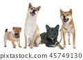 dog animal shiba-inu 45749130