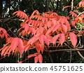 ผักใบ,ต้นเมเปิล,ฤดูใบไม้ร่วง 45751625
