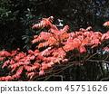 ผักใบ,ต้นเมเปิล,ฤดูใบไม้ร่วง 45751626