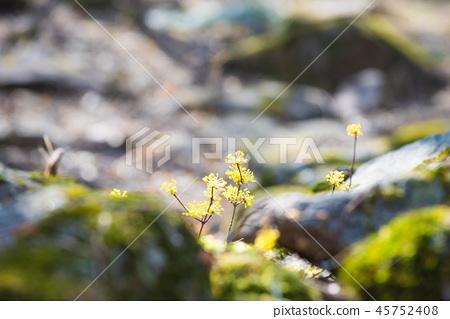 바위 틈에 핀 노란 산수유꽃 45752408