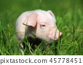 Small piglet on a  grass 45778451