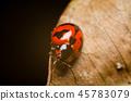 close up of ladybug on dry leaves 45783079