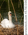 White Swan Hatching in the Nest 45783306