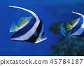 Moorish idol swimming in the aquarium 45784187