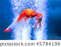 fish goldfish underwater 45784196