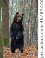 animal, forest, wildlife 45784228