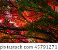 ต้นเมเปิล,ต้นออทัม,ฤดูใบไม้ร่วง 45791271