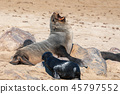 baby brown seal in Cape Cross, Namibia 45797552